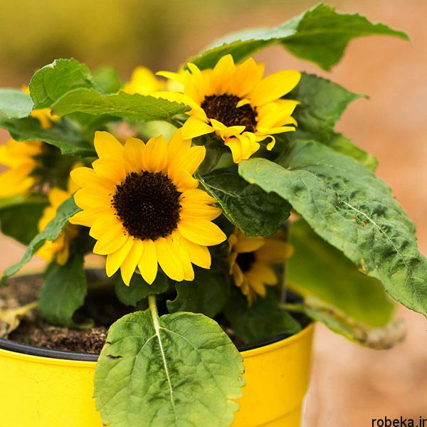sunflower 15 عکس های گل های آفتابگردان رویایی در طبیعت