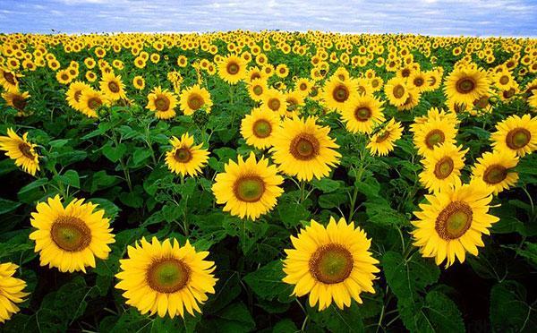 sunflower 17 عکس های گل های آفتابگردان رویایی در طبیعت