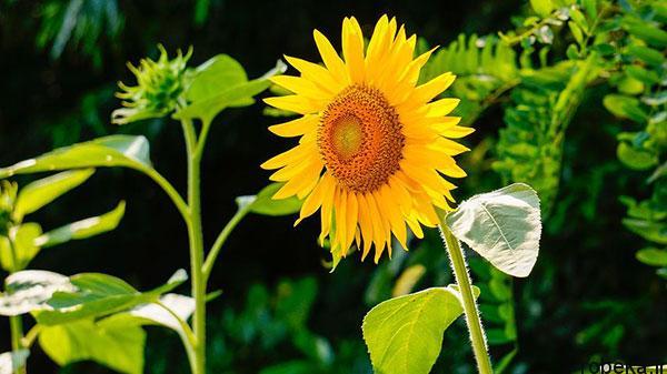 sunflower 18 عکس های گل های آفتابگردان رویایی در طبیعت