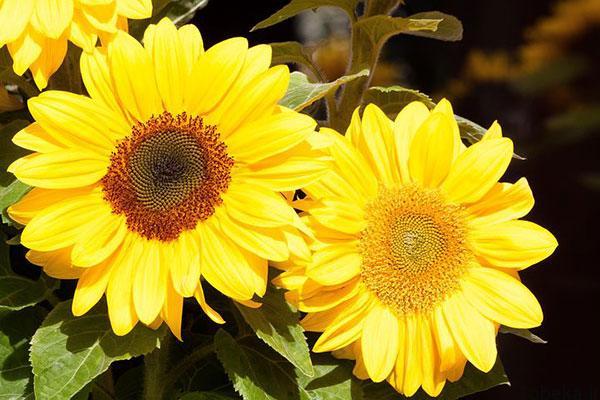 sunflower 19 عکس های گل های آفتابگردان رویایی در طبیعت
