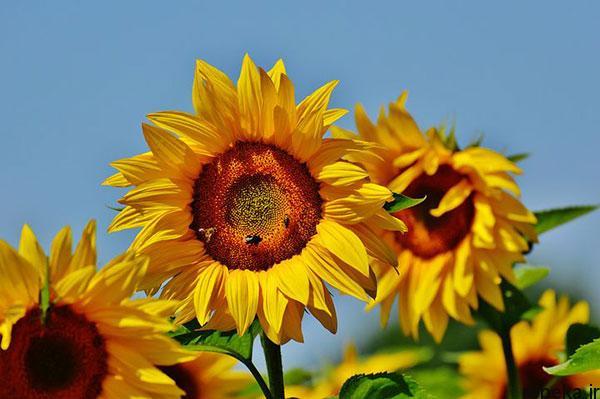 sunflower 2 عکس های گل های آفتابگردان رویایی در طبیعت