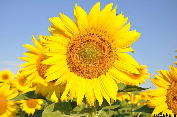 sunflower 20 عکس های گل های آفتابگردان رویایی در طبیعت