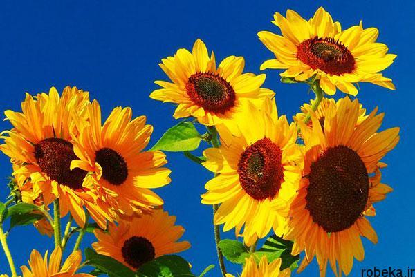 sunflower 4 عکس های گل های آفتابگردان رویایی در طبیعت