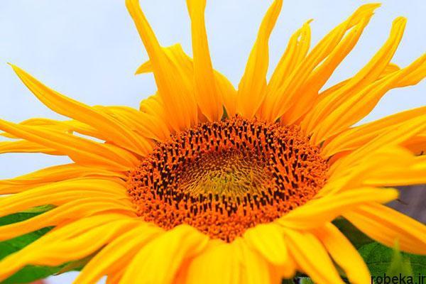 sunflower 6 عکس های گل های آفتابگردان رویایی در طبیعت