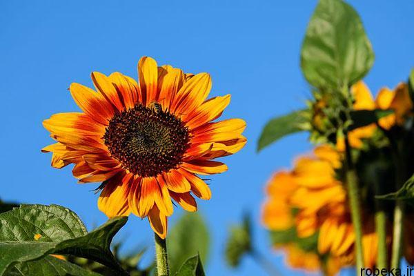 sunflower 7 عکس های گل های آفتابگردان رویایی در طبیعت