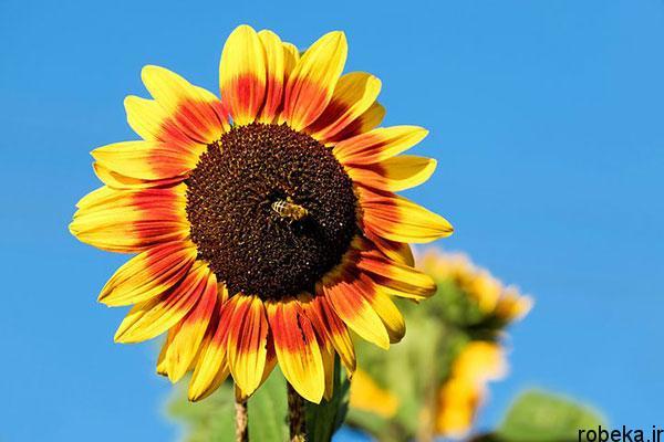 sunflower 8 عكس هاي گل هاي آفتابگردان رويايي در طبيعت