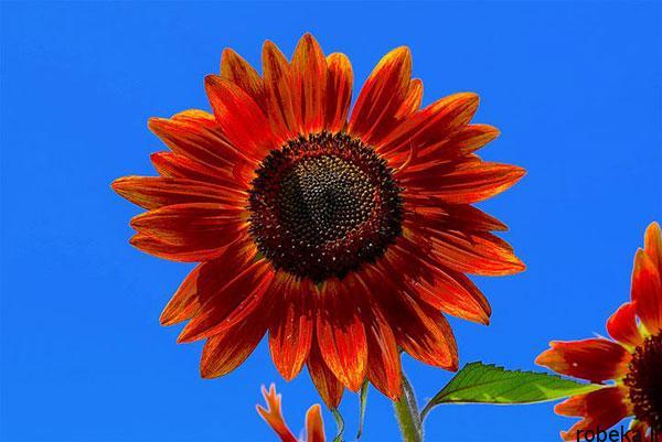 sunflower 9 عکس های گل های آفتابگردان رویایی در طبیعت