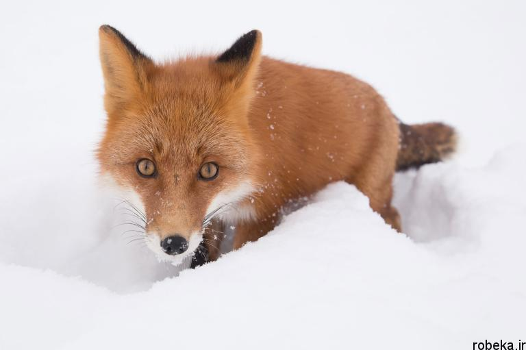 wildlife animal photos 6 29 عکس زیبا و دیدنی نشنال جئوگرافیک از حیات وحش حیوانات