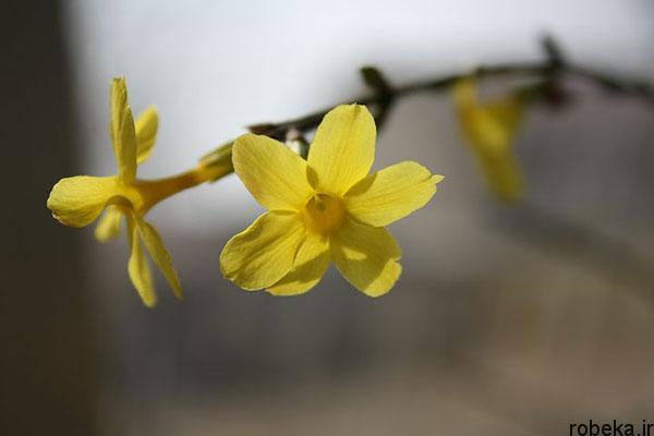 yellow jasmine flower photos عکس های زیبا از گل های یاس برای پروفایل